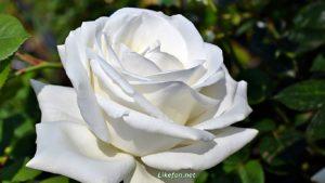 Белая-роза_фото_к-1366